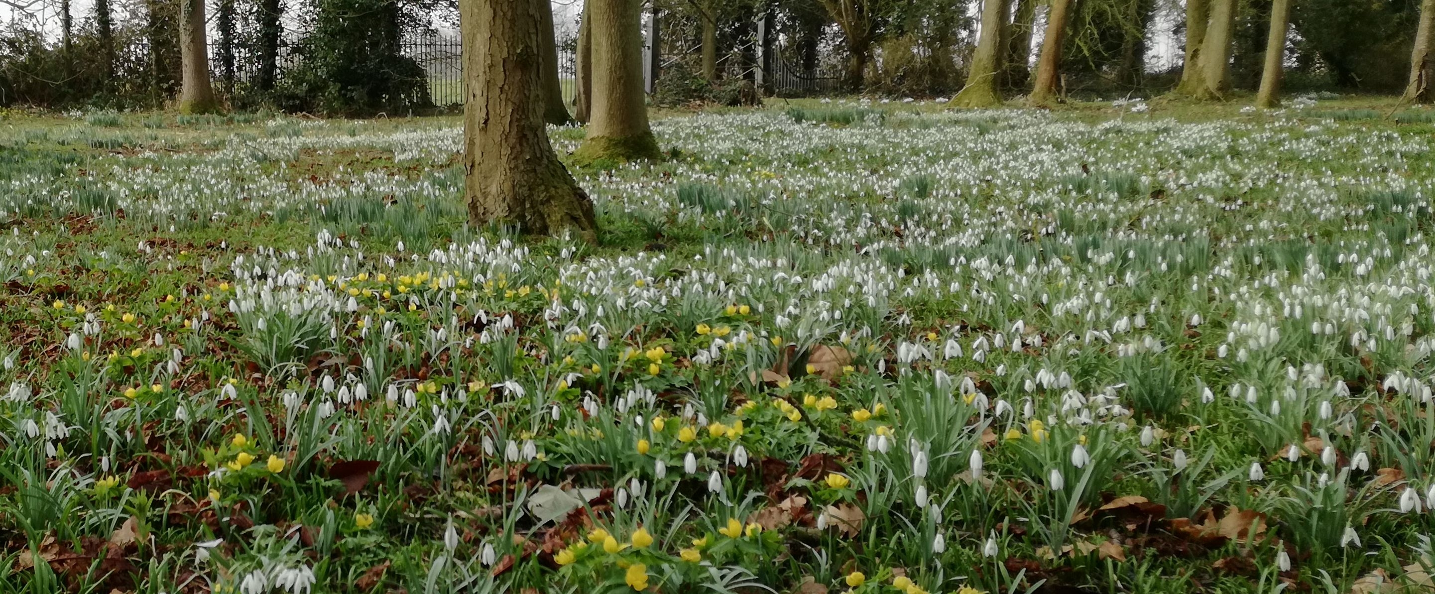 snowdrops and aconites 2018 web version