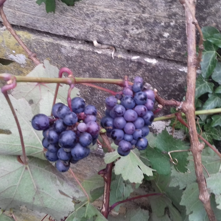 Grapes September 2018