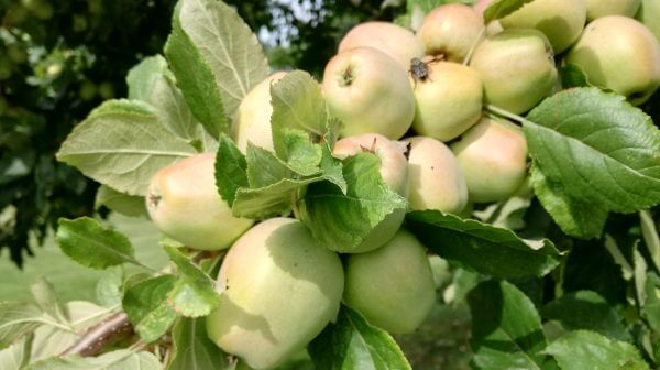 September open day: Apple and Bees Picture