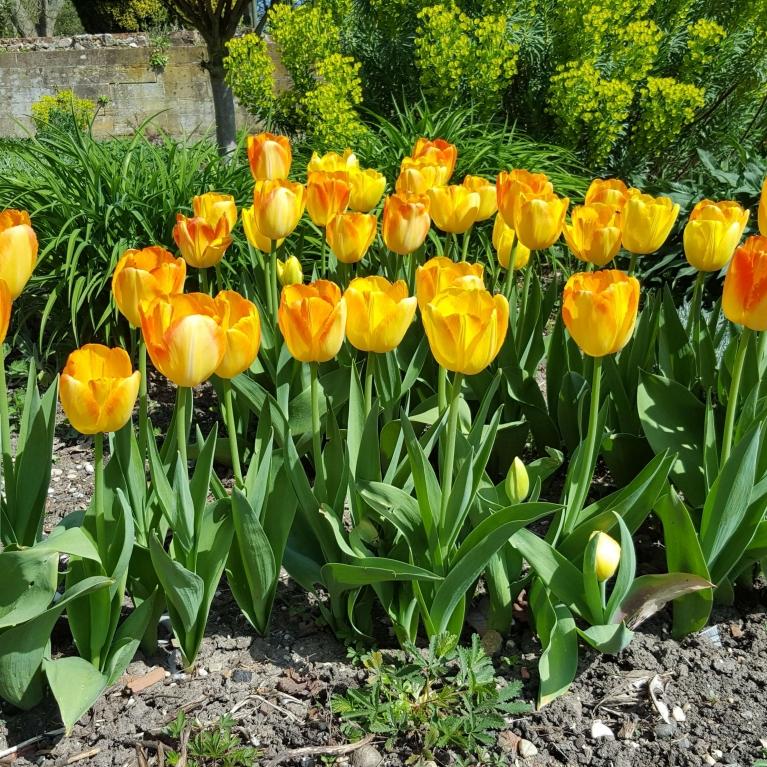 tulips apr 2020