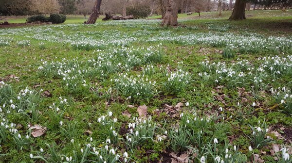 Our snowdrops Picture
