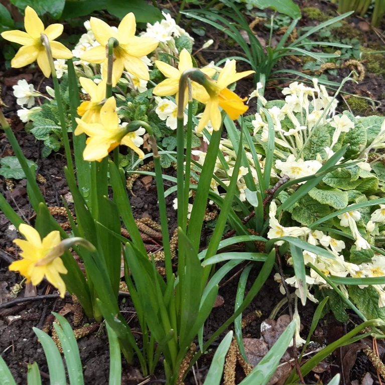 daffs and primroses march18th 2021